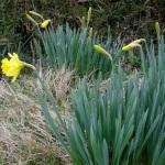 daffodils480